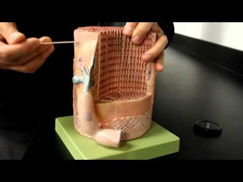 MUSCULAR SYSTEM ANATOMY:Muscle fiber with neuromuscular junction model description - YouTube