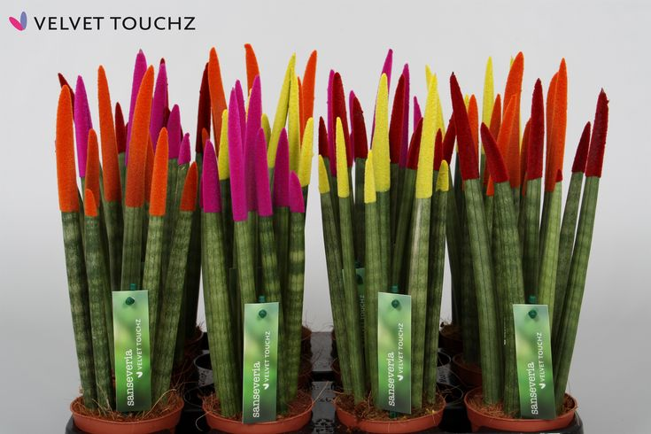 Farbowane rośliny domowe - Sansewieria - wężownica