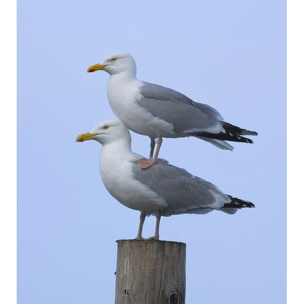 Standing Room Only by Philip Kirk. Herring gull (Larus argenatus) Seahouses, Northumberland, England.   Such a great photo!