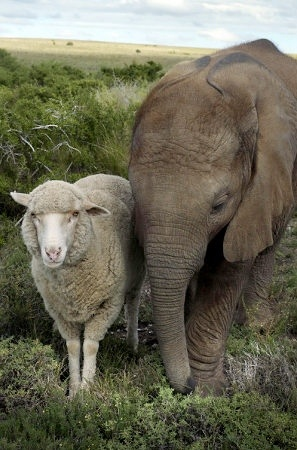 Animal Odd Couples - Who says a sheep and an elephant can't be besties?
