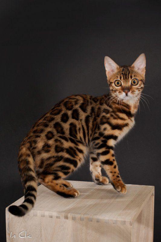 Connu Les 25 meilleures idées de la catégorie Chat léopard sur Pinterest  LZ57