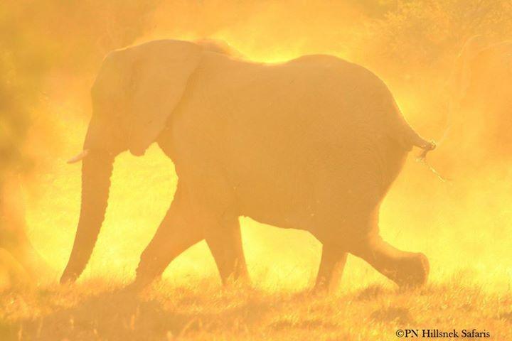 Elephant at dusk on Amakhala Game Reserve