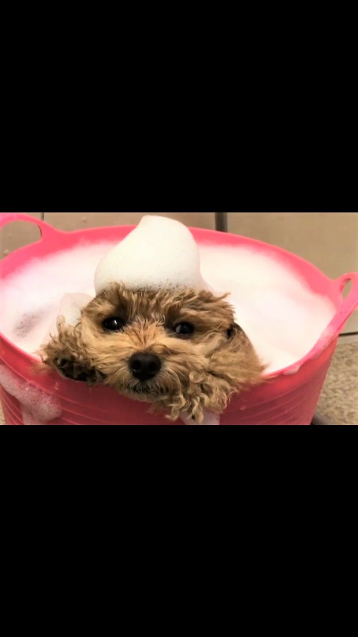 This Two Year Old Poodle Enjoys Bathing In A Warm Bucket Of Soapy