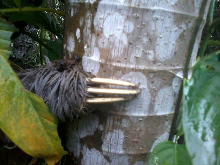 Close up of sloth claws