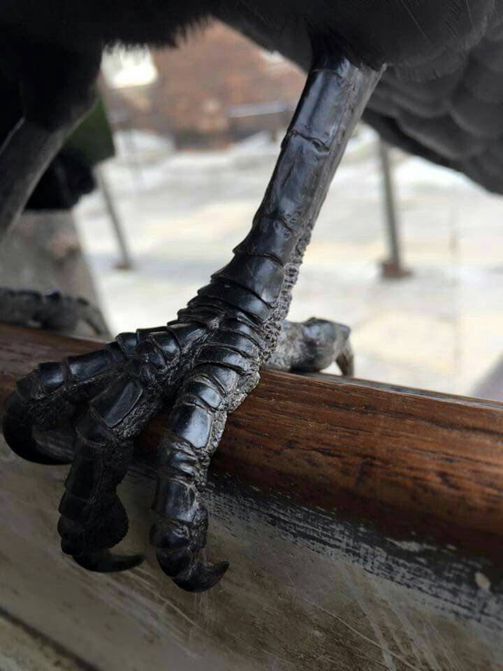 Raven claw. Raven Merlina Tower of London. Follow the Ravenmaster on FB and Twitter