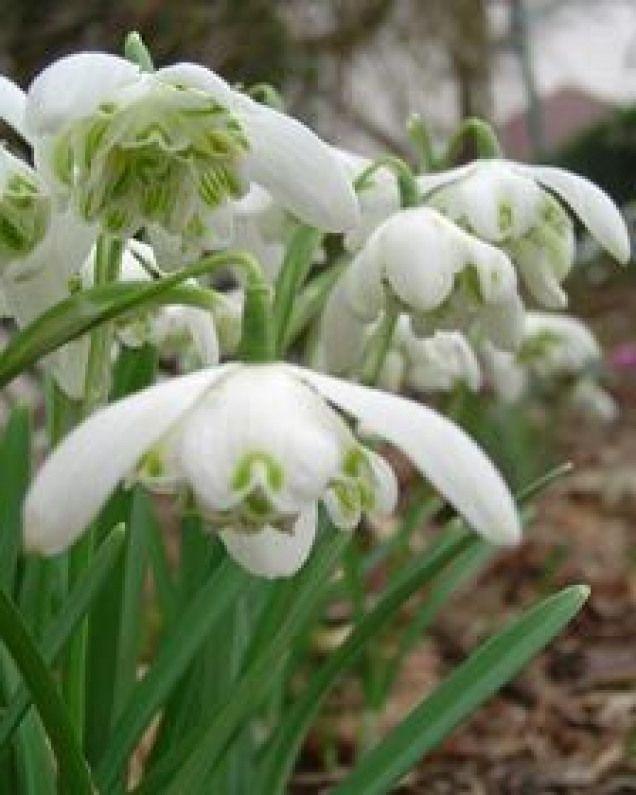 Grossblumig Und Duftend Gefullte Schneeglockchen Bulbousplants Bulbous Plants Spring Bulbous Plants Plants Flowers