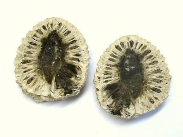 Fossil pinecone, denneappel, Patagonië, Argentinië.