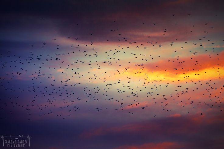 Migration - stormi d'uccelli neri, com'esuli  pensieri, nel vespero migrar.