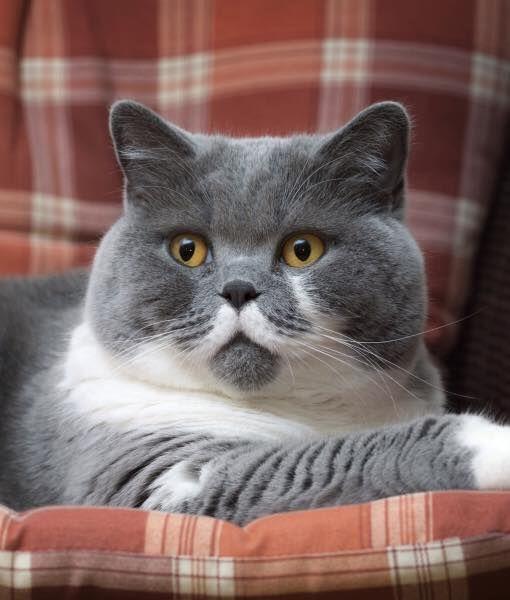 diabetic neuropathy in cats