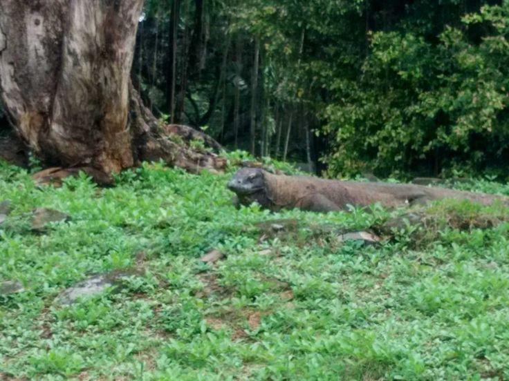 Hewan Komodo Kebun Binatang Ragunan