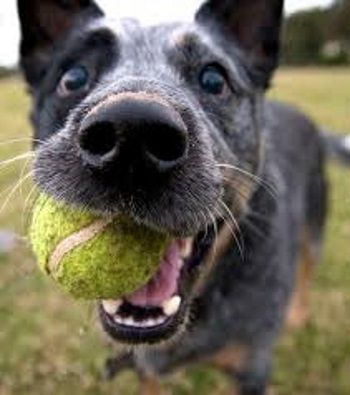 How to understand and train your new Australian Cattle Dog. Aka: Blue heeler, Red Heeler, Queensland Heeler.