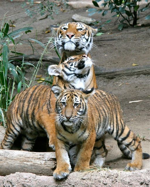 Tigers! #animals #travel