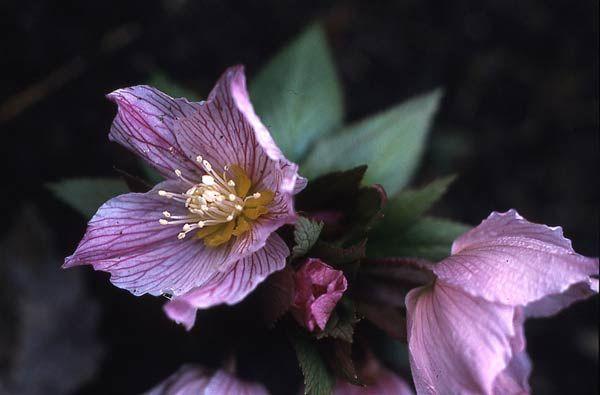 Helleborus Thibetanus - Helleborus botanici - Vivaio Zanelli