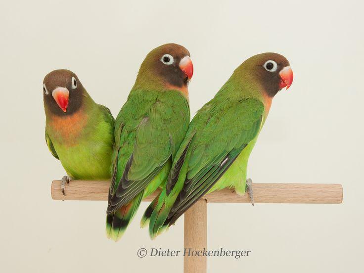 Black-Cheeked Lovebirds (Agapornis nigrigenis)