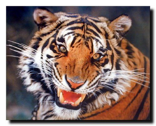 Wall decor with poster is a very simple, affordable way to brighten up any space in your home. This tiger animal art print poster will be a great addition to any space. This poster captures the image of Tiger face looking at someone with his big brown eyes and sharp teeth's showing his anger is sure to attract lot of attention. Tigers have the ability to shed or grow their body hair according to how cold or hot it gets.