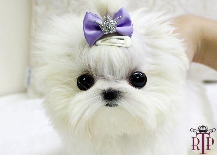 micro teacup maltese... when it's my turn to have a puppy dog, this is what I want <3