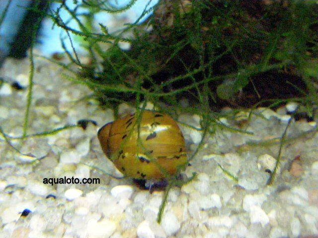 Caracol nerite.sp, se le conoce también como caracol cebolla. Es un gran comedor de algas, lo que le hace muy útil en los acuarios de agua dulce. #caracoles #acuarios #peces