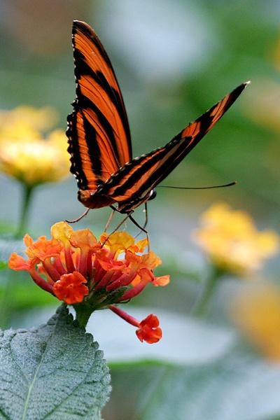 by Colin Dunjohn Orange Tiger (Dryadula Phaetusa)