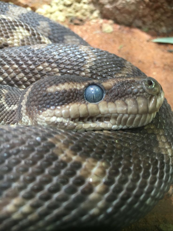 I seeee you... Rough scaled Python