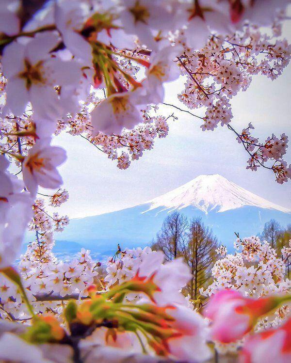 Fuji Dağı- Japonya- Kiraz Çiçekleri