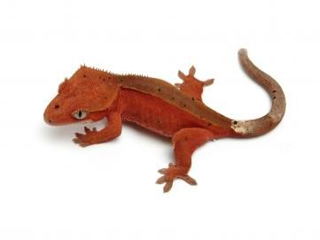 Red bi color Theurbangecko