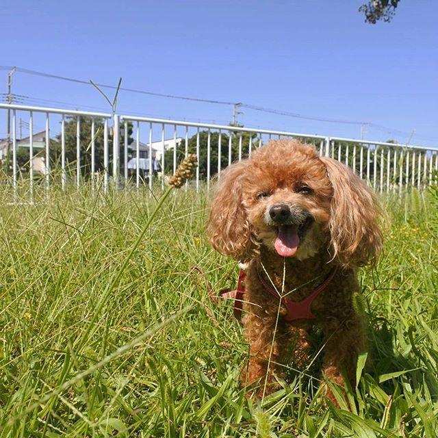 秋空さんぽ🎶 Walking along the local river🐾 . 獣医さんの後は近くの川を つたってお散歩し お昼の時間だったので 二人で中華を食べて帰りました🍥😁 . 日差しは夏から秋へ🍁✨ まだ暑いですが 空気は爽やかさupしたな~🐶💕 . #dog #dog #dogs #doglover #doglife #instadog #ilovemydog #dogstagram #love #cute #smile #toypoodles #toypoodle #愛犬 #トイプードル #ふわもこ部 #犬バカ部 #わんこなしでは生きていけません会 #トイプードル部 #わんこ部 #トイプードルレッド #秋空 #お散歩 #川 #walking #nikon