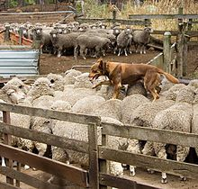 Australian Kelpie - Australia - Thought this was a cool picture of this breed at work!