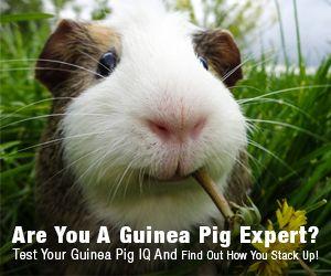 What's Your Guinea Pig IQ https://quiz.leadquizzes.com/q/treaWK