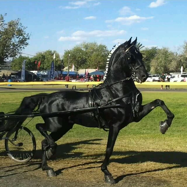 Black Prince ,very young black hackney stallion .Was reserve champion at Baufort wes in South Africa.Owned by Allie Davids if I am correct.This is one amazing hackney