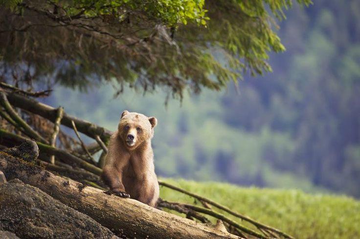 Questi animali sono a rischio #animals #canada #BritishColumbia