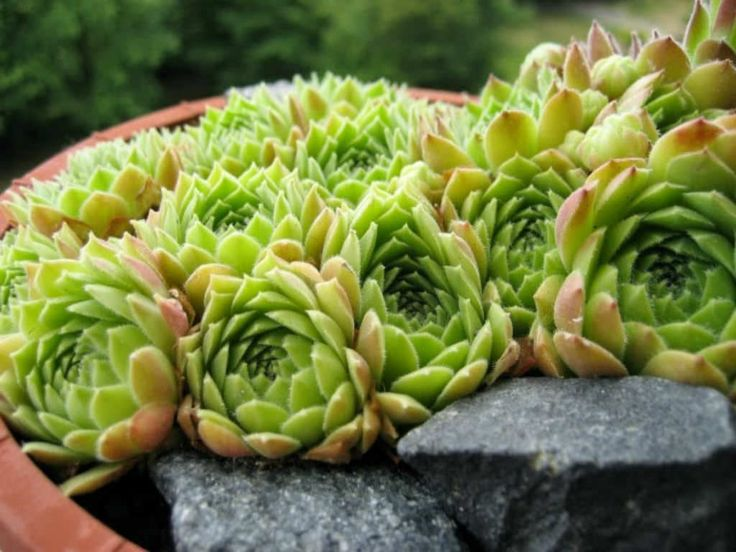 Sempervivum atlanticum - Hen and Chicks is a succulent plant with small rosettes (up to 3.2 inches/8 cm in diameter) of light apple-green...