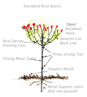 How to suppoert and tie a standard rose to stake