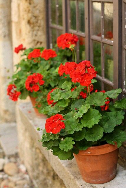 I just love red geraniums in terra cotta pots!