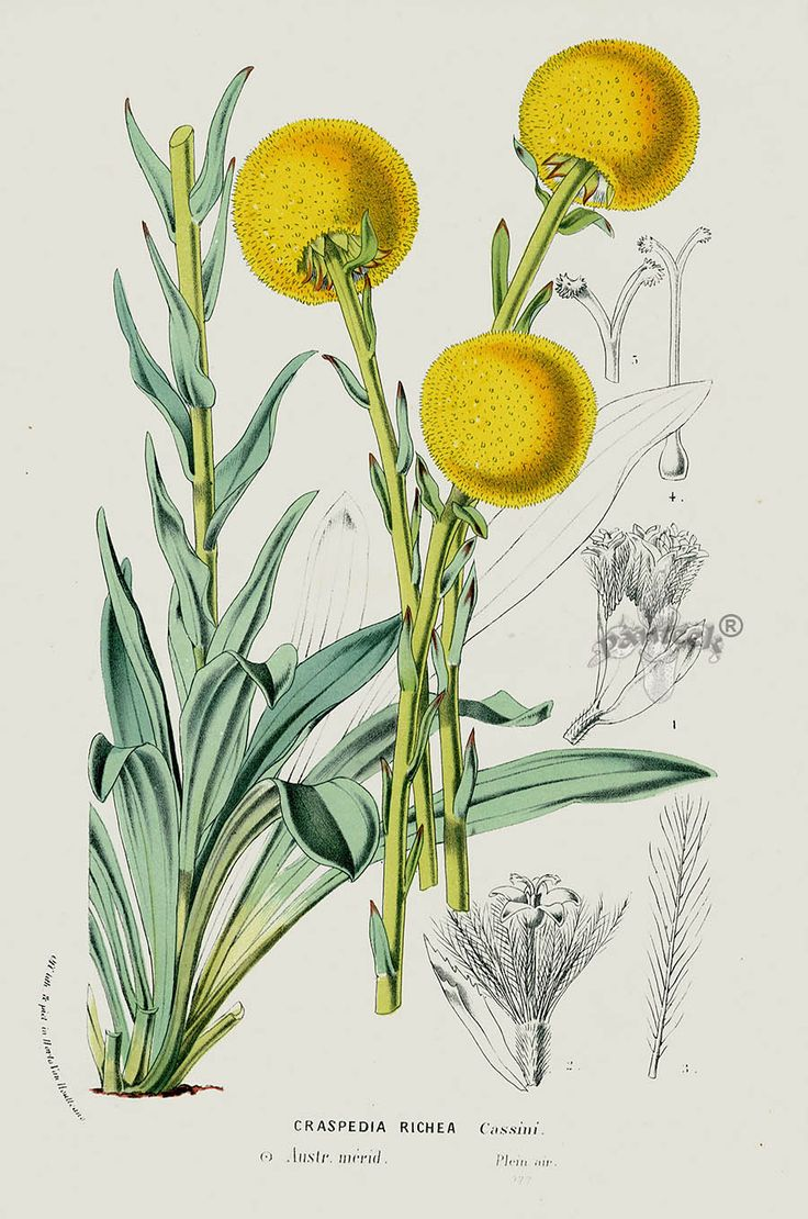 Craspedia richea from 1845 Louis Van Houtte Flores de Serres Australian Botanical Flowers