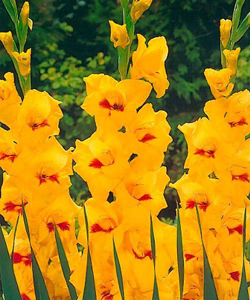 Velkokvěté mečíky ´Jester´. Gladiolus Hybriden 'Jester'. Neobyčejně atraktivní, nepřehlédnutelné květy. Skvělé voňavé mečíky k řezu! Až přes metr dlouhé stvoly nesou bohatá květenství. Nemohou na zahradě chybět! Dodáváme vybrané odrůdy. Obvod hlíz: 12/14 cm. Stanoviště: plné slunce. Doba kvetení: červen-září. Vhodné k řezu. Na zimu nutno vyjmout ze země.