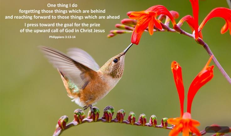 Rufous Hummingbird feeding at a Crocosmia flower in ...