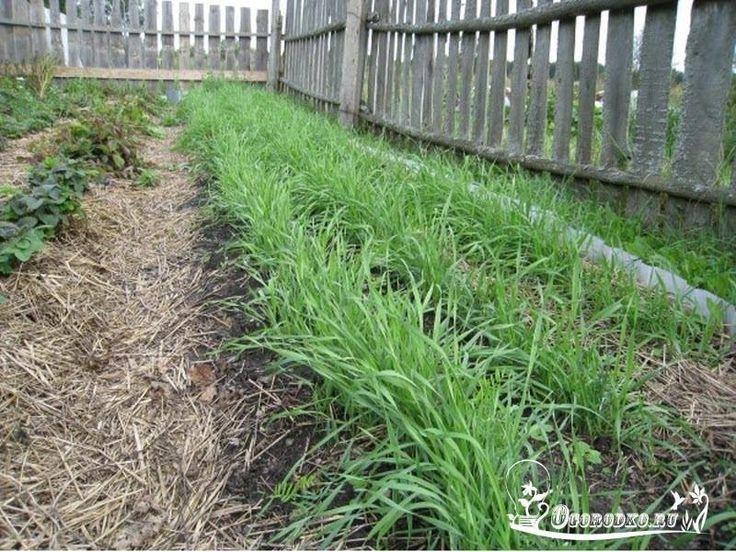 Нет навоза? Сейте рожь!    Огородники, которые еще не пробовали сажать рожь на удобрения, задаются вопросом: а в чем ее преимущества перед традиционными подкормками, например, навозом? Они есть, и весьма существенные!    1. Зеленое удобрение (сидераты) обойдется в разы дешевле навоза. Вы платите только за семена.    2. В грядки с закопанным зеленым удобрением не попадут (как в случае с навозом) миллионы семян сорняков.    3. Зелень увеличивает количество полезных микроорганизмов в почве в…