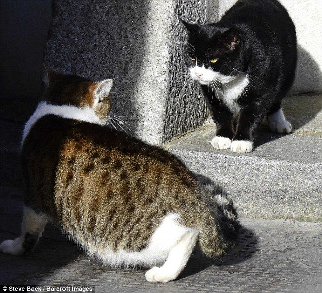 After being dumped back out on the street, Palmerston then came face-to-face with his arch rival Larry, the Prime Minster's cat