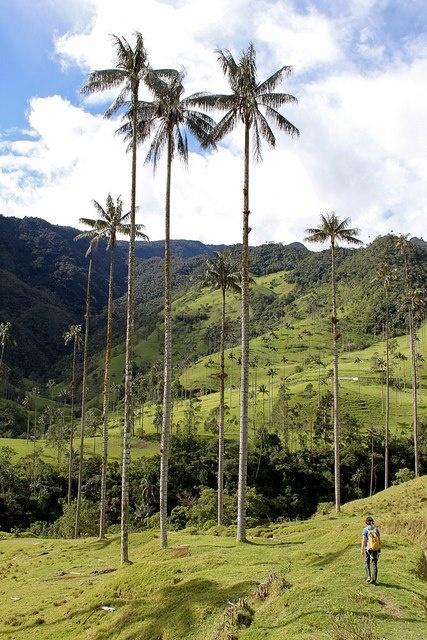 Parque Nacional Natural Los Nevados (Colombia).   A una altura entre 1800 y 2400 metros sobre el nivel del mar, el valle de Cocora entra en la tipología de un ecosistema con condiciones similares a las de un bosque nuboso. Pero curiosamente, además de crecer una densa vegetación, entre el verde intenso se asoman miles de palmeras de alturas que resultan sorprendentes.  El árbol nacional de Colombia es la palma de cera del Quindío, una especie endémica que crece en los departamentos de…