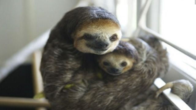 16 Hugging Sloths That Will Absolutely Melt You - RantPets - http://www.rantpets.com/2016/01/27/16-hugging-sloths-that-will-absolutely-melt-you/