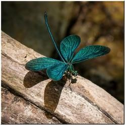 Greek Damselfly, damselflies can be found in freshwater habitats from temporary pools to waterfalls, but individual species occupy only habitats within a certain range of water speeds.: Dragon Flies, Butterfly, Butterflies, Dragonfly S, Greek Damselfly, D