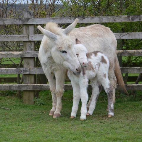 Flossie and her gorgeous new foal - The Donkey Sanctuary, Sidmouth, England.