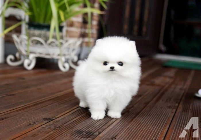 cheap teacup pomeranian best 25 pomeranian puppies for sale ideas on pinterest 4666