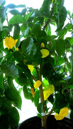 How to treat indoor hibiscus for spider mites and white flies.