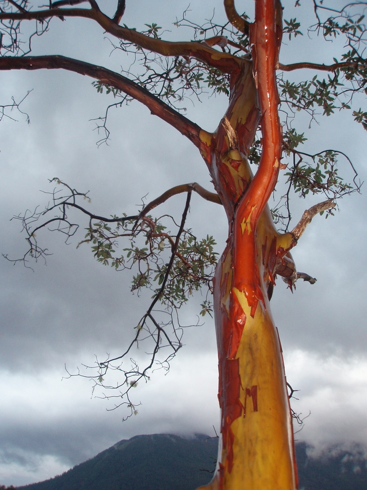 The dramatic contrast of an arbutus tree, with a late season bark peeling, Campbell River