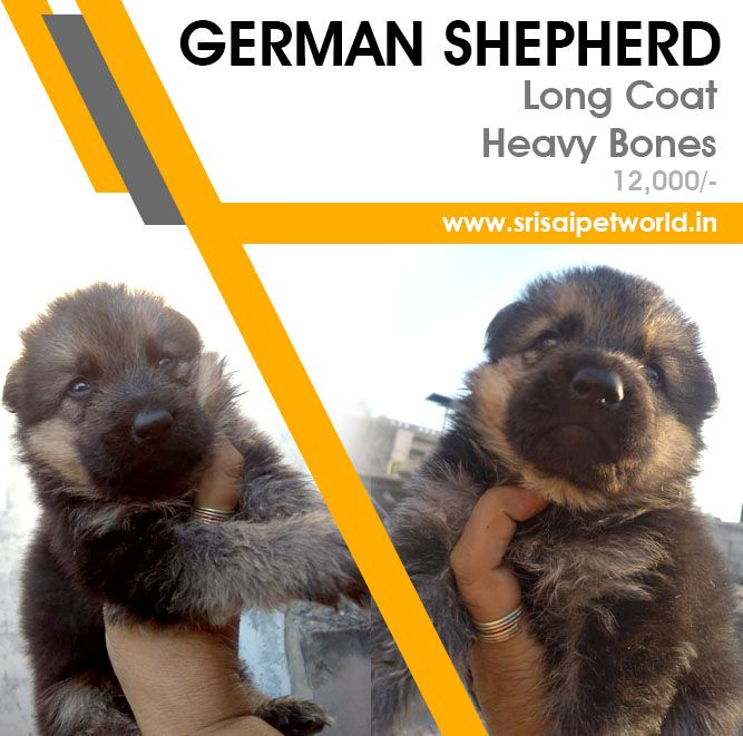Get German Shepherd Puppies In Delhi Noida Gurgaon Haryana