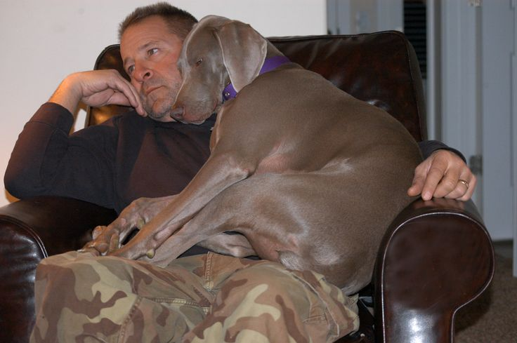 my wiemer does this with my husband all the time....they are such people dogs!