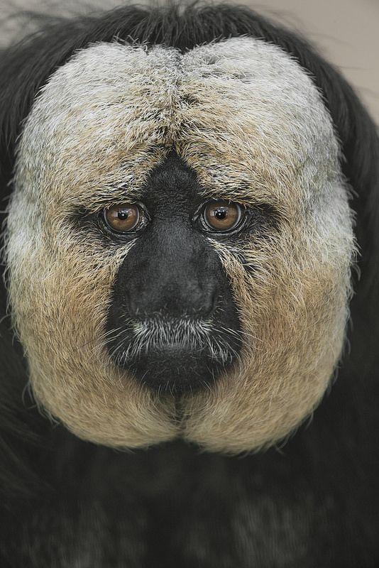 White-faced Saki. [The white-faced saki, also known as the Guianan saki and the golden-faced saki, is a species of saki monkey, a type of New World monkey, found in Brazil, French Guiana, Guyana, Suriname and Venezuela.]