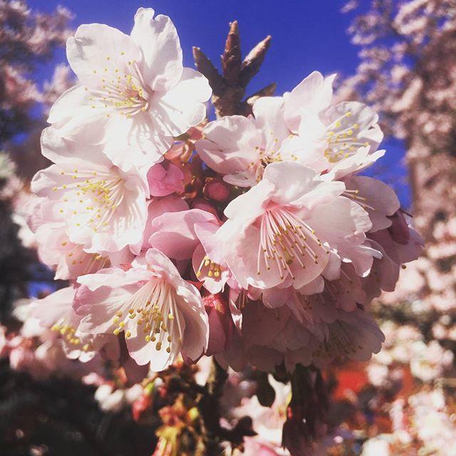 【toronigiri1977】さんのInstagramをピンしています。 《ひと足早い熱海の桜。梅も良いけどやはりこちら。また、参宮橋公園に行く季節。  #熱海 #桜 #さくら #サクラ #糸川 #寒桜 #sakura #cherry #flower #atami #shizuoka #静岡 #japan #日本》