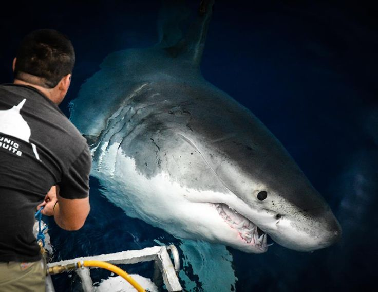 Ye gods! That's a little too close for comfort! :} ~ #GreatWhiteSharks #Sharks #CloseEncountersoftheSharkyKind